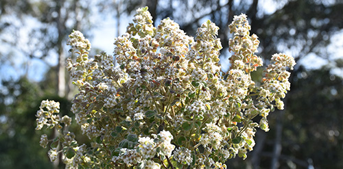 Bomaderry Zieria (Zieria baeuerlenii)