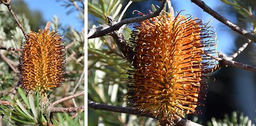Banksia vincentia